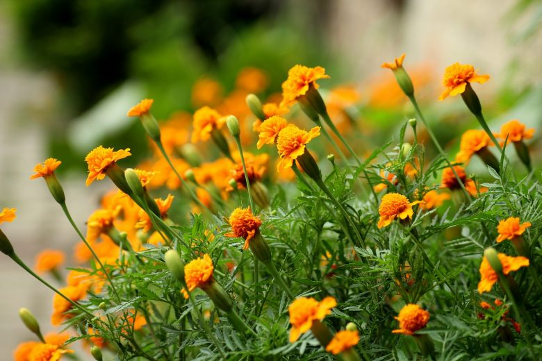 Plants That Repel Insects And Garden Pests Natural Gardening