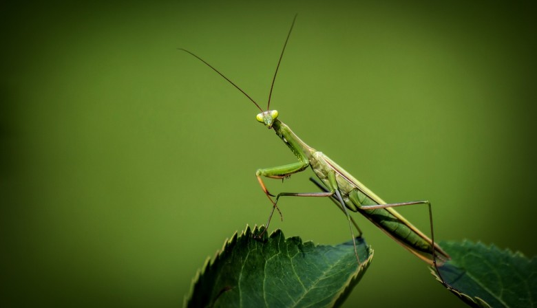Connecticut's proud state insect, the praying mantis.