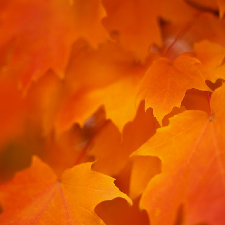 Maple Leaves - Portland, ME