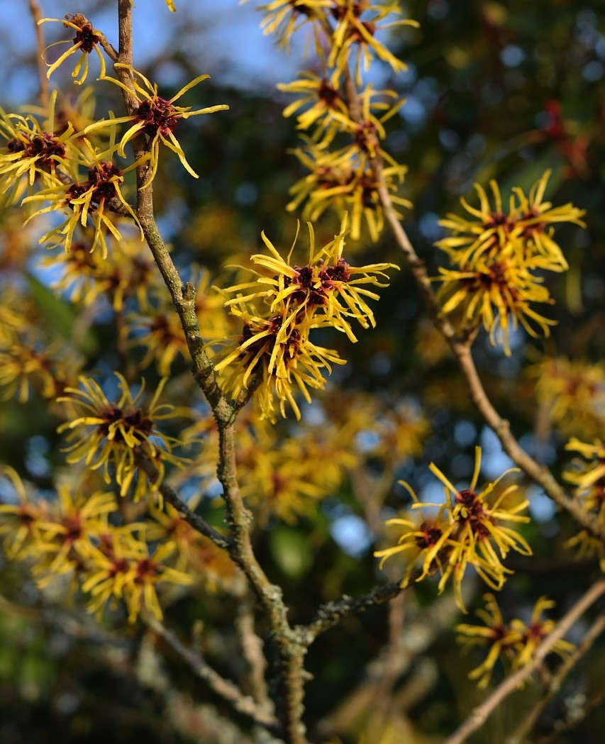 Witch Hazel Guide Winter Flowering Shrubs New England Today
