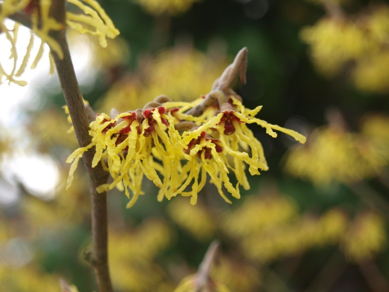 Witch hazel guide winter flowering shrubs new england today witch hazel guide winter flowering shrubs mightylinksfo Gallery